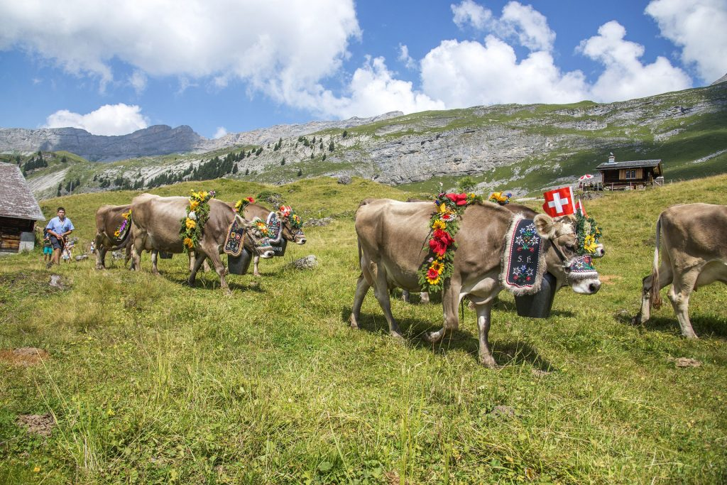 cows - flowers on cows - swiss alps- switzerland